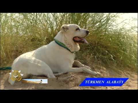 Туркменский алабай-волкодав. Среднеазиатская овчарка.
