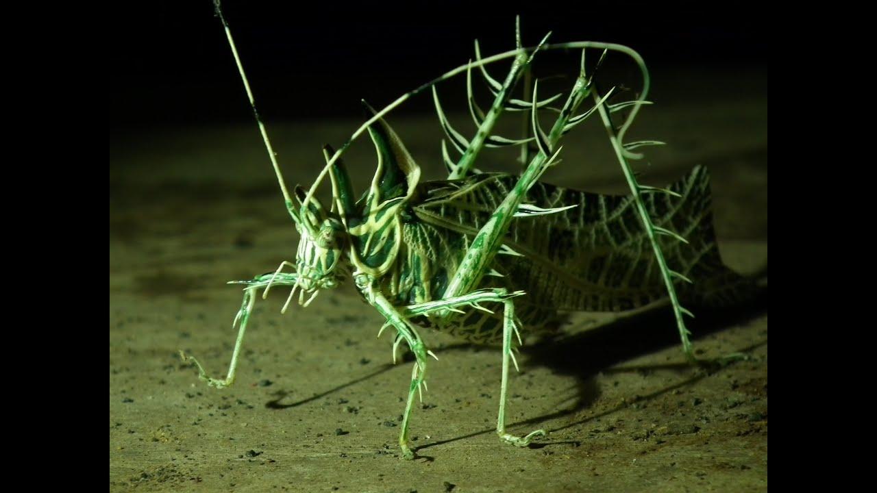 Pirced grasshopper, Saltamonte con espinos, Konik polny