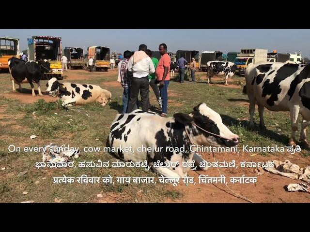 HF cows Mandi, Price,milk,lactation complete details