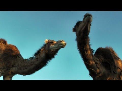 Camels shed like CRAZY: Rakin' my camels