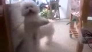 белая собака танцует