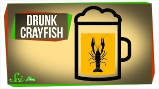 Getting Crayfish Drunk... For Science! thumbnail