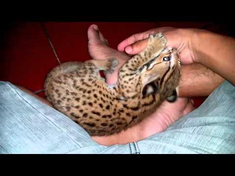 Blacan/Loepard cat/Kucing Hutan