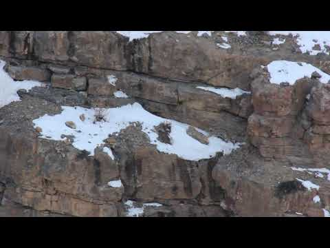 On the Prowl: Snow Leopard vs. Ibex in Spiti, India