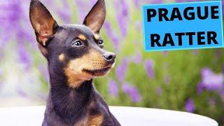 Prague Ratter  TOP 10 Interesting Facts  Prazsky Krysarik