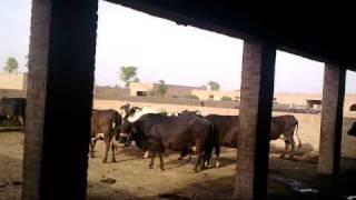 56 Adeel Ahmed dairy farm@depalpur,pakistan