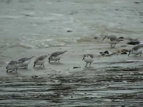Sanderlings on Goring Beach