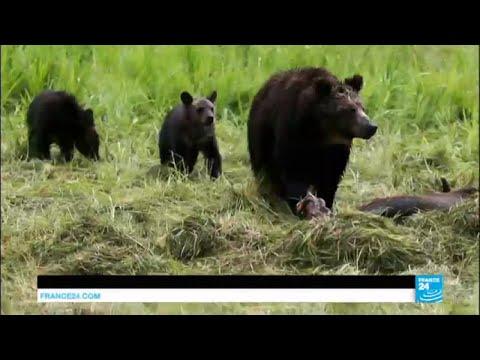 Yellowstone : les ours grizzly retirés de la liste des animaux protégés