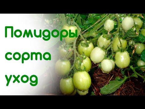 Салатный сорт томата ХУРМА.