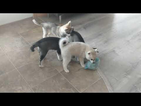 Alaskan Klee Kai Puppies with their new toy
