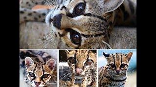 Margay Cat - Beautiful and Rare