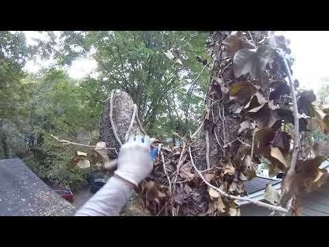 Chunking Down a Cherry Tree in A Tight Spot Part 1 -  (2107)