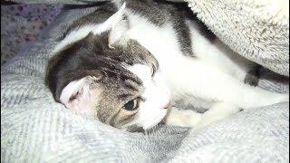 【飼い主に毎晩寝込みを表敬訪問される猫】A cat that is seen by the owner while sleeping every night thumbnail