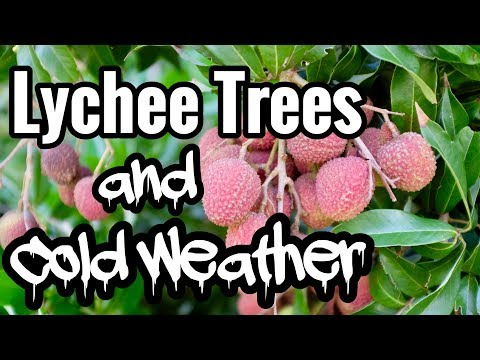 Lychee Trees and Cold Weather