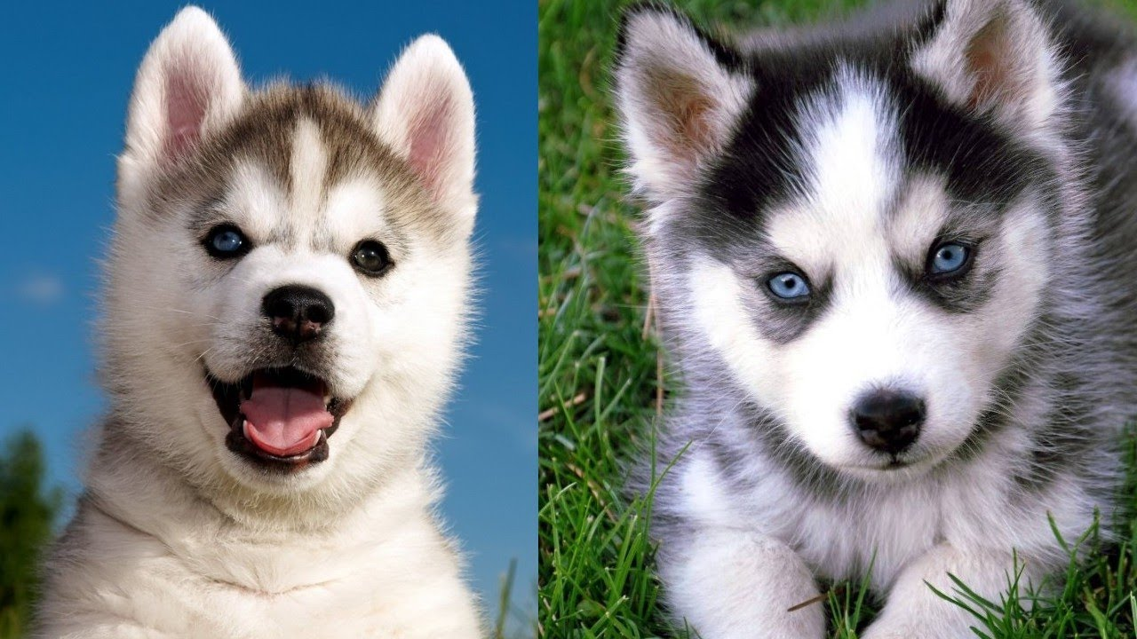 Cutest Hursky Puppies Compilation Videos #1
