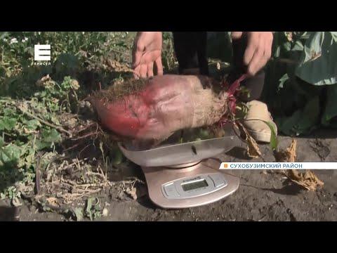 Дачники и аграрии края собирают урожай гигантских овощей