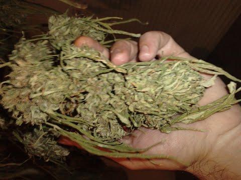 Como tener cogollos de marihuana ricos en sabor y olor/ makapeta.