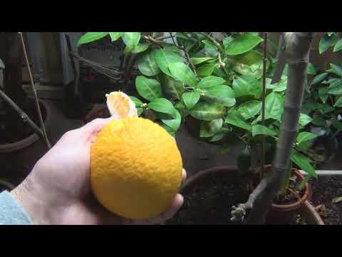 Trovita Orange Air layer producing Oranges
