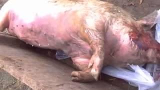 Ветеринария  свиней. Молниеносная  смерть свиней