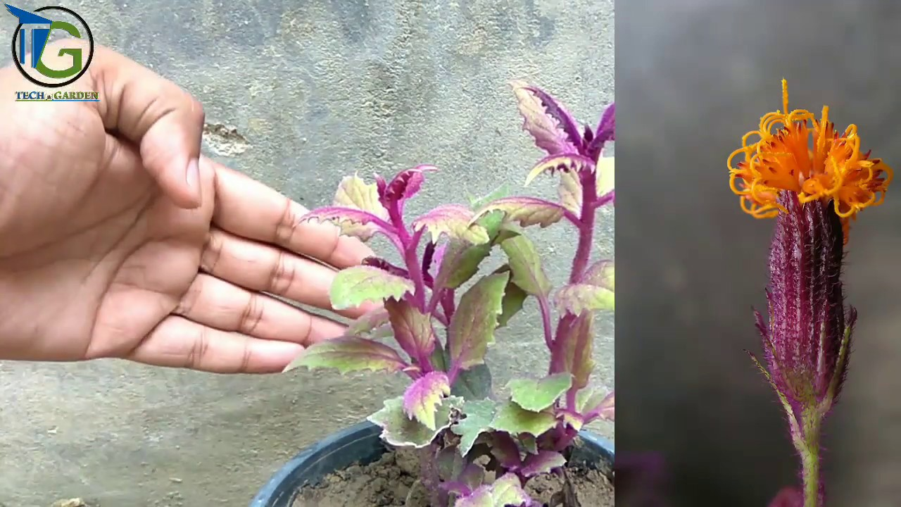 Purple Pion Plant Care: Tips For Growing Purple Pion Houseplants on house plants with light green leaves, house plants with shiny leaves, house plants and their names, house with red flowers, wandering jew with fuzzy leaves, house plants with waxy red blooms, olive tree green leaves, florida plants with red leaves, tomato plants with purple leaves, house plants with small leaves, perennial plants with purple leaves, house plants with long green leaves, house plants with colorful leaves, poisonous plants with purple leaves, house plant rubber plant, house plants with bronze leaves, house plants with dark red leaves, house plant purple heart, purple house plant fuzzy leaves, purple foliage plants with leaves,