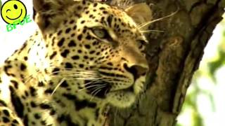 WOW Watch this Leopard Escape from 4 Lions - To Live Another Day!!