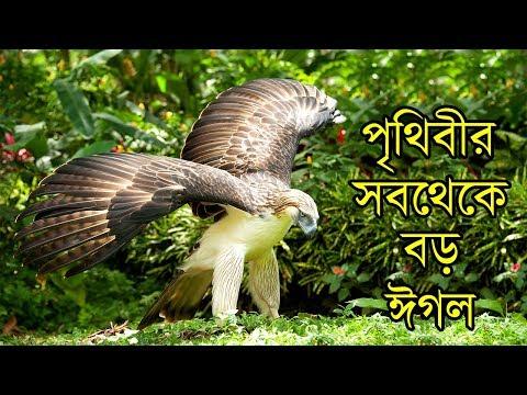 পৃথিবীর সবথেকে বড় ঈগল দেখুন | ফিলিপাইনের ঈগল | World's Largest Hunter Bird Philippine Eagle
