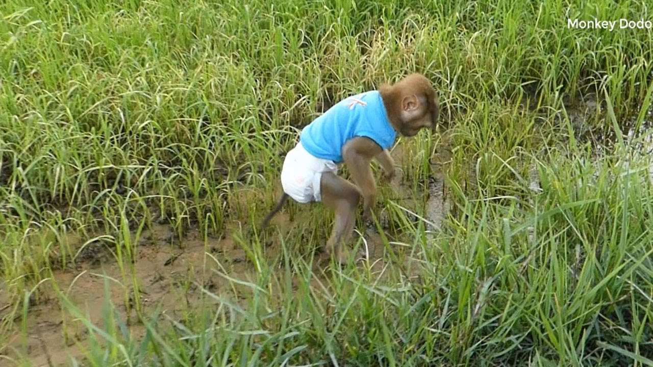Dodo Finding Fish In Rice Field