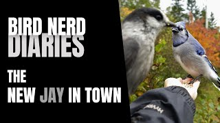 The New Jay in Town | Bird Story