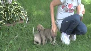 PUGGLE PUPPIES FOR SALE  2011