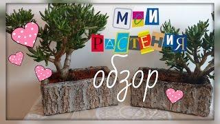 Мои растения. Январь 2017. Алоказия, адениум, каланхоэ, крассула (толстянка), маммиллярия.
