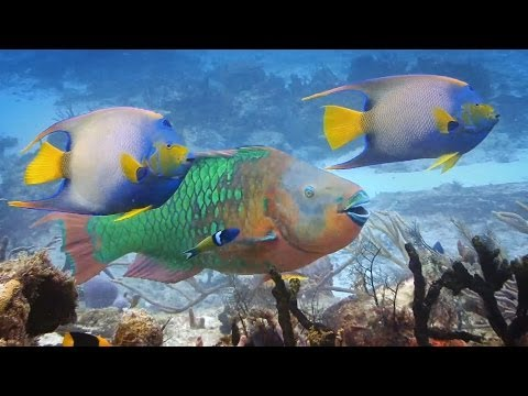 Coral and Parrotfish - A Love Story
