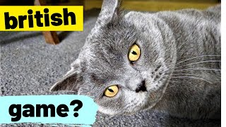 Tom's Funny Cat videos - British Shorthair #05