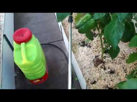 Гремучая смесь для вредителей на перце! | отпугиватель | гусеницами | вредителей | сладкого | урожай | защита | борьба | супер | перца | лето