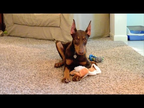 RED DOBERMAN PINSCHER PUP KONA (FAN SUBMITTED)