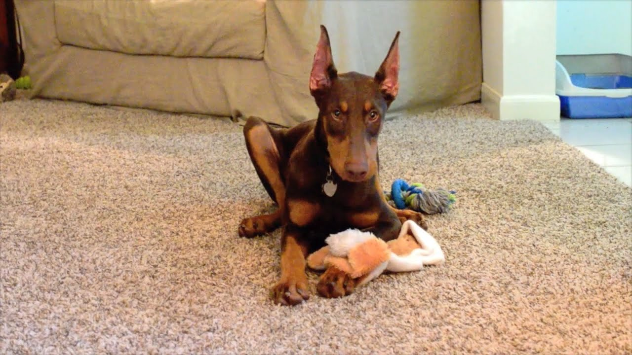 red doberman pinscher pup kona fan submitted youtube