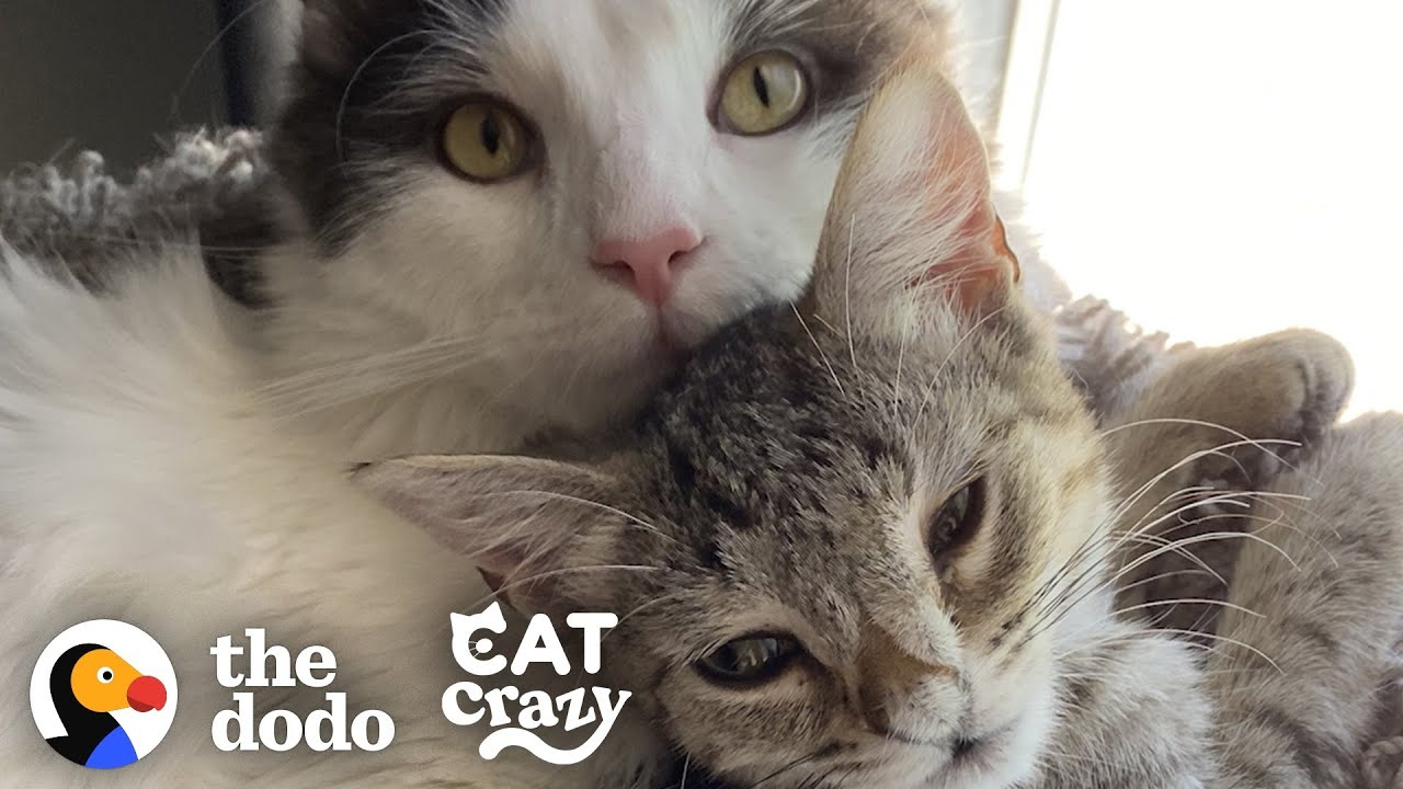 Hissing Kitten Grows Up To Be A Foster Dad  | The Dodo Cat Crazy