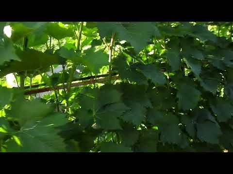 Количество листьев для вывращивания  одной грозди винограда