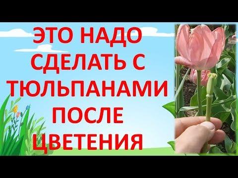 УХОД ЗА ТЮЛЬПАНАМИ ПОСЛЕ ЦВЕТЕНИЯ. Как выращивать тюльпаны. Выращивание тюльпанов.