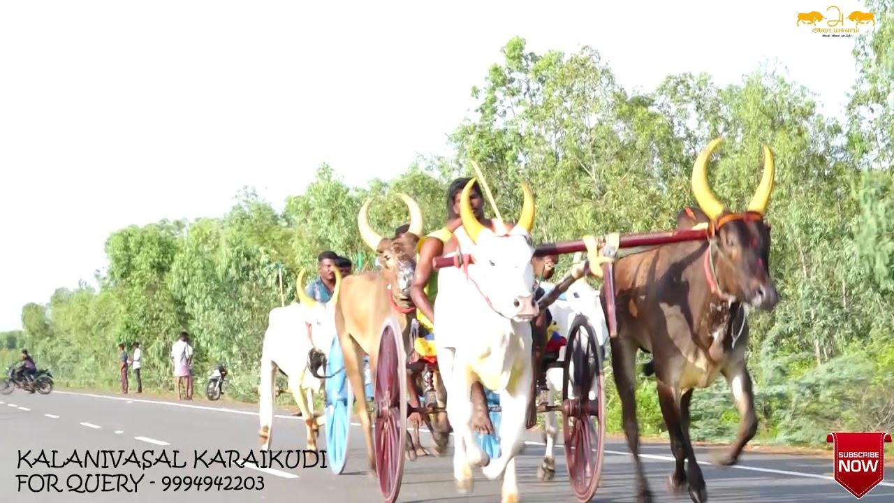 Download Karaikudi kalanivasal கரிச்சான் மாடு பந்தயம் முதல் குழு 52 மாடுகள்