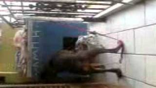 Dalmatian Attacks Doberman