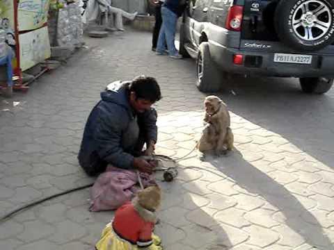indian Monkey Show