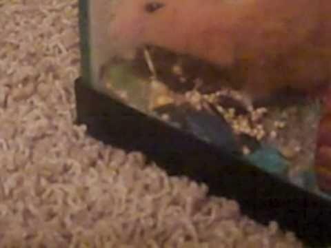 hamster throwing up food - youtube