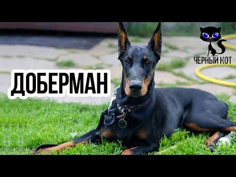 Доберман / Интересные факты о собаках