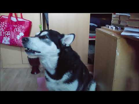 A very long howling by Alaskan Malamute