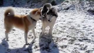 秋田犬とハスキー犬のボディアタック.