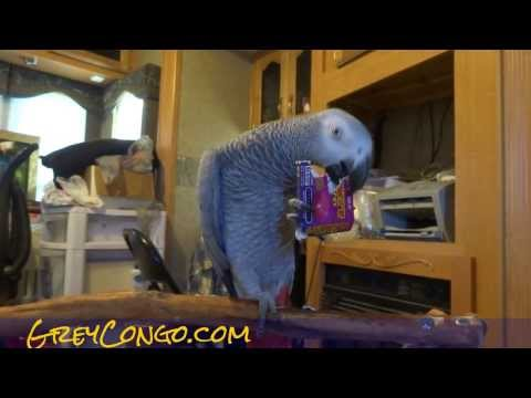 African Grey Congo VS Livewire Energy Chews Box Talking Parrot AD