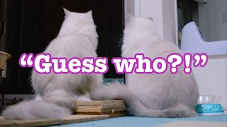 Guess who? Me or me or meeeeee!!!!【Ragdoll cats】【adorable cute animals】
