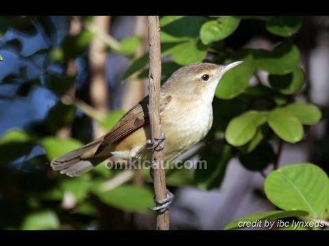 Suara Kicauan burung KERAKBASI Untuk Masteran CIBLEK PRENJAK KENARI