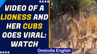 Lioness with her six cubs following in a queue, adorable video will make your day | Oneindia News