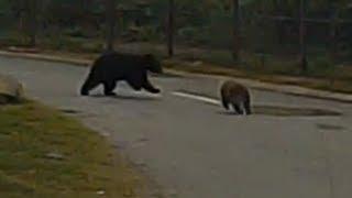 木に登るクマ→サルが木をゆすってクマを挑発→サルのパンチでクマが転が...